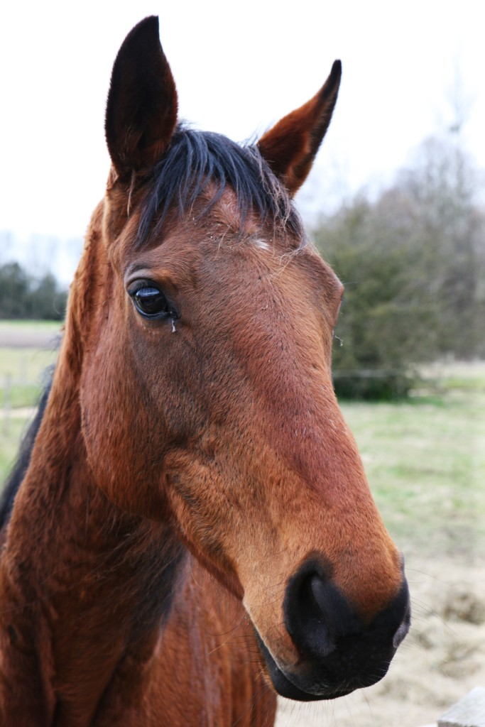 Brown Horse Ben Redgell